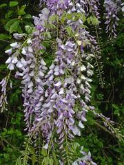 Wisteria (Herculeus.) Tags: flowers plant flower outside outdoors mar nc outdoor blossoms northcarolina wisteria fayetteville flowersplants 2016 flowercluster