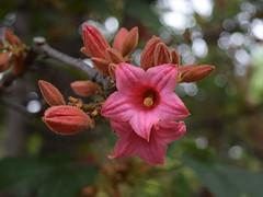 Brachychiton discolor (dracophylla) Tags: malvaceae royaltasmanianbotanicalgardens brachychitondiscolor lacekurrajong