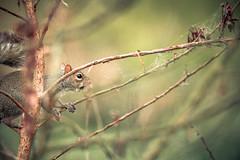 Squirrels (cheyzan) Tags: green nature animal canon eos leaf squirrels mark iii 5d tamron
