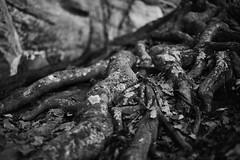 autumn at Raven Rock State Park 1 (furrycelt) Tags: park november autumn blackandwhite fall nature monochrome rock forest outdoors 50mm woods nikon natural hiking roots sigma northcarolina hike trail lichen wilderness capefearriver d600 harnettcounty ianwilson ravenrockstatepark sigma50mmf14 sigma50mmf14exdghsm lensblr photographersoftumblr jianwilson