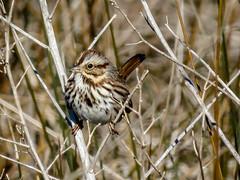 Savannah Sparrow (backyardzoo) Tags: sparrow savannah savannahsparrow sunrays5