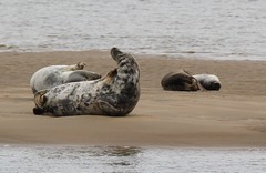 Seals. (Seckington Images) Tags: wildlife seal thatsclassy