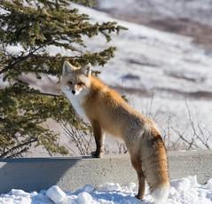 Trusting (Tracey Rennie) Tags: winter snow tail brush alberta fox vixen cochrane redfox trusting