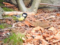 Koolmees (Parus major) (Frank Berbers) Tags: bird aves vgel greattit vogel koolmees passeriformes zangvogel paridae kohlmeise nikoncoolpixp610