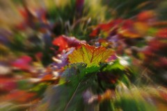 Colored leaves of low temperature (kawabek) Tags: winter lensbaby leaf    edge50 50