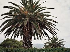 Boulders Beach Trees (chillbay) Tags: africa mamiya southafrica capetown palm boulders palmtree mamiya645 bouldersbeach