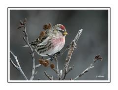 Common Redpoll ln the Alders (Tomcod) Tags: bird nature newfoundland wildlife finch avian songbird redpoll passerine
