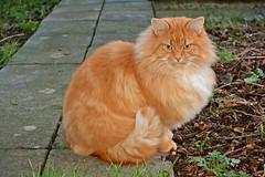 Ti Amo wearing his reddish fur coat...a winter photo (Maria Godfrida) Tags: winter orange cats pets nature animals chestnut grumpy reddish reddishbrown