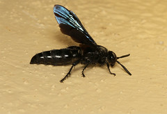 Scoliidae sp. (Wasp) South Africa (Nick Dean1) Tags: africa insect southafrica wasp insects arthropods animalia arthropoda krugernationalpark arthropod hexapod hymenoptera insecta hexapods hexapoda scoliidae