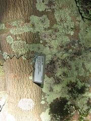 starr-091104-9048-Castanospermum_australe-plant_tag-Kahanu_Gardens_NTBG_Kaeleku_Hana-Maui (Starr Environmental) Tags: castanospermumaustrale