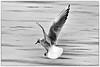 Mouette rieuse (Chroicocephalus ridibundus) (yann.dimauro) Tags: france animal nb fr extérieur oiseau rhone faune rhônealpes givors ornithologie