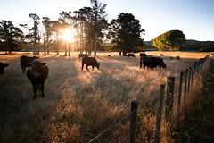 Sun Cows