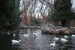 God exists (coşkuyla ölmek) Tags: lake tree green nature beauty turkey duck natural istanbul çamlıca
