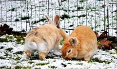 Freundschaft..... (SpitMcGee) Tags: schnee snow bunny hase aristoteles spitmcgee