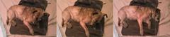 Going ... going ... gone (Billie the Mixed Terrier) Tags: dog mutt mixed vet terrier dentist billie