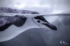 23/366 (criss.garcia) Tags: city water animal mxico mexico penguin acuario acuarium pingino cristinagarcia crissgarcia