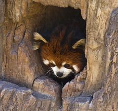 Red Panda (Stephen P. Johnson) Tags: california bear red fauna zoo san panda sandiego landmarks diego places 201602080145