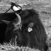 Synergie durch Putzervogel - 009-2016_Web (berni.radke) Tags: bird rind magpie synergy vogel münsterland stever synergie elster olfen heckrind heckcattle steveraue putzervogel