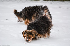 Sniffing my way home (Justin P. Ross) Tags: winter dog pet snow cold yorkie animal puppy outside outdoors outdoor yorkshire terrier