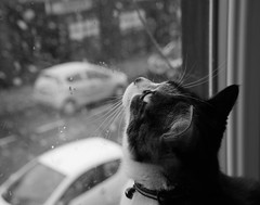curious (ally bally bee) Tags: street winter urban blackandwhite snow eye nature glass monochrome face weather animal cat fur whiskers tortoiseshellcat nibbler westlothian sonycameras fullframecamera sonya7r sonyilce7r