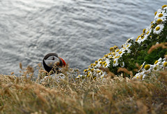 Látrabjarg (vsig) Tags: vestfirðir iceland island látrabjarg islande 精彩 风景 美 北欧 图片 冰岛