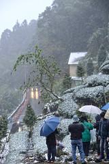 Tea plantation in the snow day   In Taiwan Nantou Lugu.     DSC_98111 (Ming - chun ( very busy )) Tags: county travel light mountain snow tree nikon village tea taiwan 85mm  plantation nikkor    teaplantation  lugu d800  nantou   traveltaiwan 85mmf18    f1885mm  nikon85mmf18