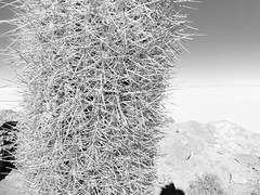 Cacti (ShaneSinclair) Tags: travel cactus bw sun lake nature landscape island salt dry bolivia sharp salar spikes saltflats uyuni potosi salardeuyuni