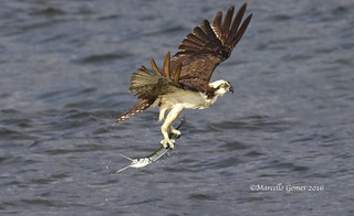Osprey with Needle Fish To Go...