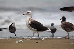 En compaa (Carlos Ramirez Alva) Tags: summer seagulls beach playa per verano gaviotas ancon fap bandada esmar