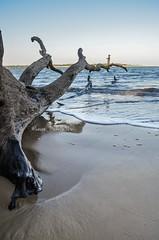 DSC_1724 (lauramichelle326) Tags: beach nature cool nikon pretty florida driftwood naturephotography beautifu floridalife d5100 nikond5100
