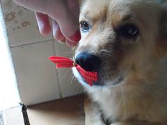 51/366 Nina and the bow (JessicaBelotto) Tags: dog soft foto being days honey linda bow nina fotografia projeto mo cachorra foco fofa lao fotografando fotografico 366 lacinho sendo nininha 366daysofhoney 366diasnoano