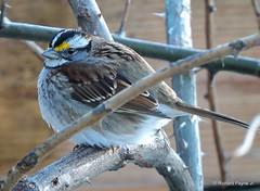 White-throated Sparrow_N9382 (Henryr10) Tags: bird yard backyard sparrow avian whitethroatedsparrow zonotrichiaalbicollis zonotrichia albicollis