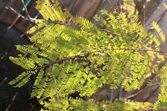 My new Jacaranda tree (Anna Sunny Day) Tags: jacarandatree