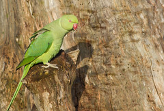 Ring-necked Parakeet (Psittacula krameri) (George Wilkinson) Tags: park uk wild england bird london canon wildlife ngc parrot 7d parakeet british ringnecked 400mm bushy psittaculakrameri