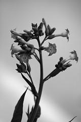 Flor do fumo (6805) (Jorge Belim) Tags: flora flor pb