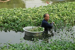harvesting morning glory (the foreign photographer - ) Tags: morning man portraits canon thailand kiss bangkok glory harvesting khlong bangkhen thanon 400d
