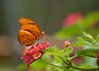 Colors of Happiness! (ineedathis, Everyday I get up, it's a great day!) Tags: red orange brown white plant black flower male green nature closeup butterfly garden insect bokeh lantana dryasjulia juliabutterfly borboletajulia nikond750