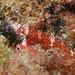 Ringscale threefin - Enneapterygius atrogulare