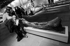 Sauropod thigh bone (Josh Thompson) Tags: chicago fossil dinosaur fieldmuseum bone sauropod evonne sigma1020mmf456exdc d7000 lightroom5