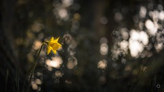 Spotlight (Augmented Reality Images (Getty Contributor)) Tags: trees light shadow flower macro nature sunshine forest canon scotland spring bokeh perthshire daffodil clearing