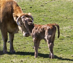 Bonding Time (a56jewell) Tags: baby green march cow spring young pasture calf heffer a56jewell