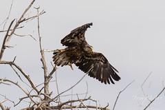 Juvenile Bald Eagle struggles to land - 3 of 27