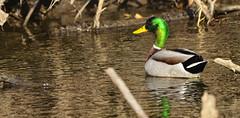 Mallard (Chad Horwedel) Tags: male bird water river duck illinois mallard bolingbrook dupagerivergreenway eastbranchofdupageriver