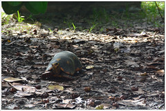 Tortue charbonnire (gillyan9) Tags: animal tortue carapace charbonnire
