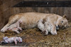 DSC_3195WM (Linda Smit Wildlife Impressions) Tags: cats white nature animal cat mammal photography big nikon outdoor african wildlife birth lion d750 cubs endangered lioness bigcats cecil carnivore lioncubs givingbirth