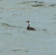 Horned Grebe (lycaenidae_nm) Tags: brooklyn