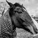 Dorset Horse
