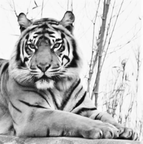 Sumatran Tiger - Black and White - Chester Zoo