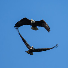The chase is on! (nickinthegarden) Tags: americanbaldeagle chilliwackbccanada