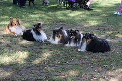 Aran Gold Kennels (ambodavenz) Tags: new dog south sheltie sheepdog canterbury zealand timaru shetland